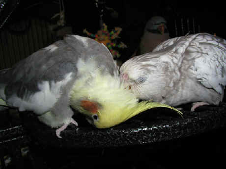 the two love birds essay The parrot essay - english parrot  animals & birds essays tags: bird, parrot author:  the two pots english story- short story on the two pots for kids.