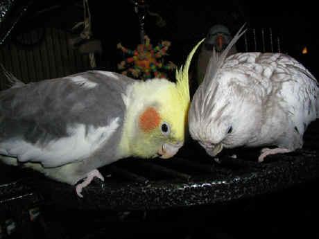 essay about love birds