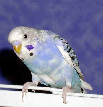 memories of budgies 223 best parakeets & budgies images on pinterest this rekindled some fond  memories i had of the budgies our family used to own .